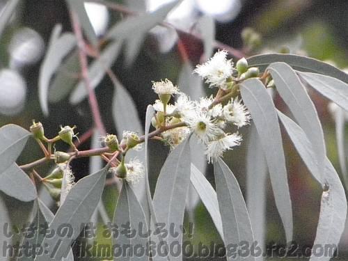 長居公園のユーカリの花