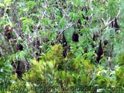 木にぶら下がっているダイトウオオコウモリ