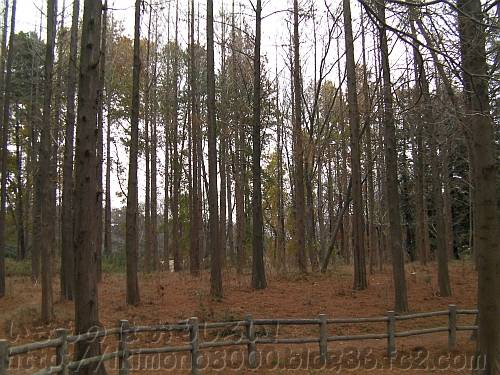 冬のメタセコイアの森[長居植物園]