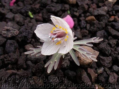 セツブンソウ[花の文化園2011年3月]