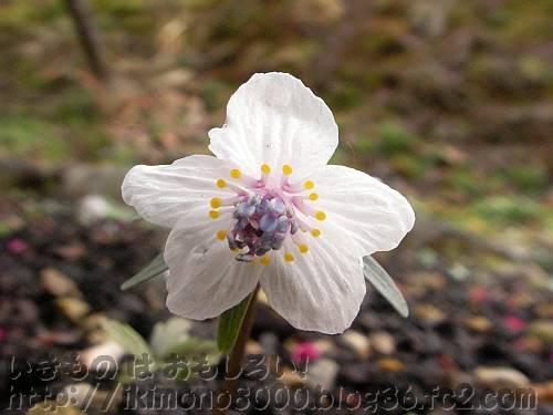 セツブンソウの花[花の文化園2011年3月]