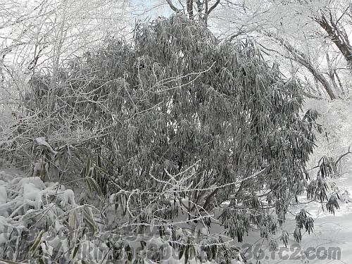 樹氷に覆われたちはや園地のシャクナゲ