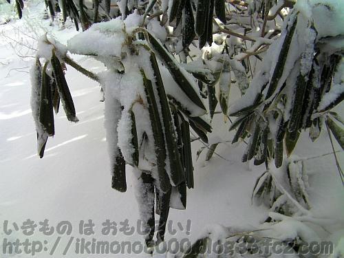 雪に覆われてまるくなったシャクナゲの葉