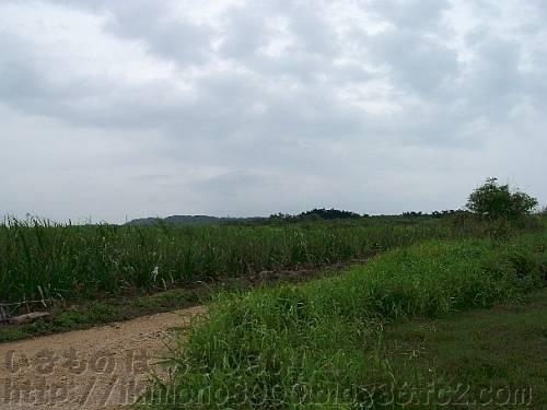 沖縄のサトウキビ畑