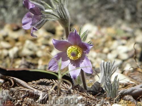 タイリンオキナグサ[花の文化園2011年3月/ヨーロッパ原産]