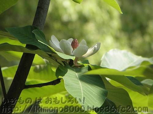 302羽登場のホオの花[服部緑地都市緑化植物園]