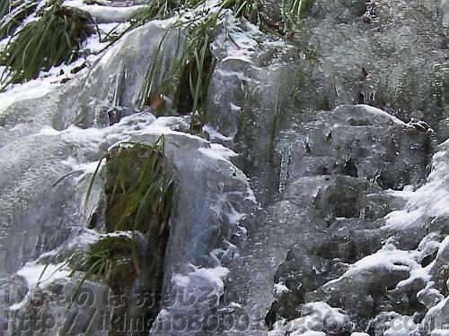 モミジ谷本流の第六堰堤の崖の氷漬けの植物(スゲ?)