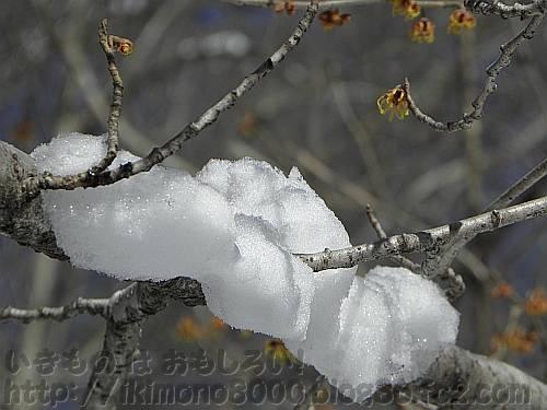 枝に積もった雪とマンサクの花[ちはや園地]