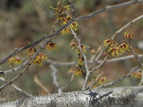 春が待ち遠しそうなマンサクの花[ちはや園地]