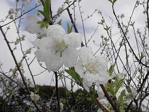 花桃 関白[藤田邸跡公園2010年3月]
