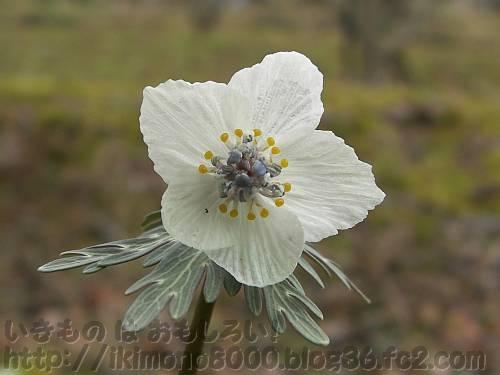 きれいなセツブンソウの花