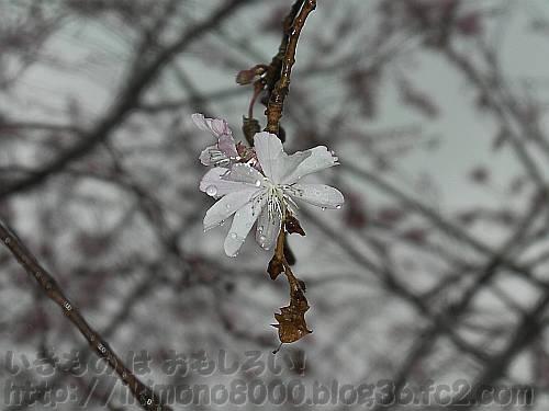 雨の中咲いている長居公園のジュウガツザクラ