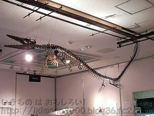 2010年11月3日~2011年1月30日の特別展「モササウルス」のときのモササウルス[きしわだ自然資料館]