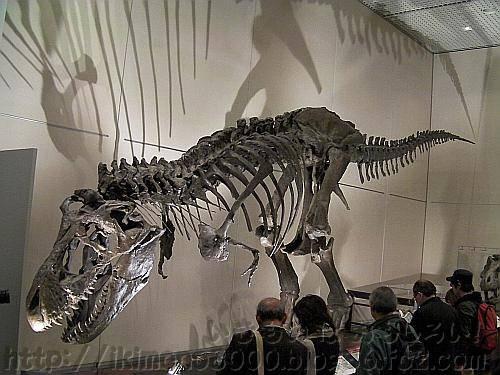 会場に展示されているティラノサウルス・レックス「ワンケル」「新説・恐竜の成長」[大阪市立自然史博物館]