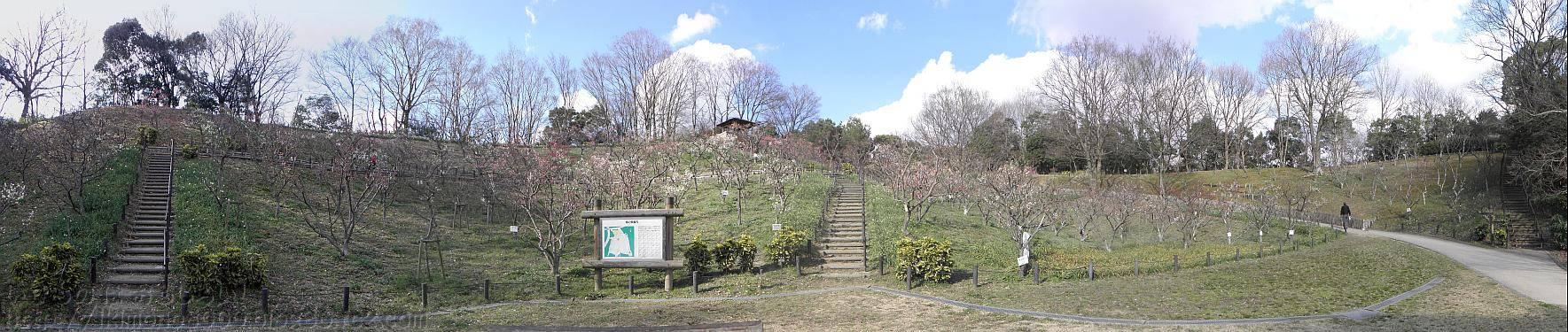 下から見上げた錦織公園梅園