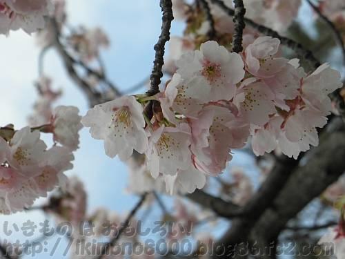 長居植物園の梅コーナーにある大山桜