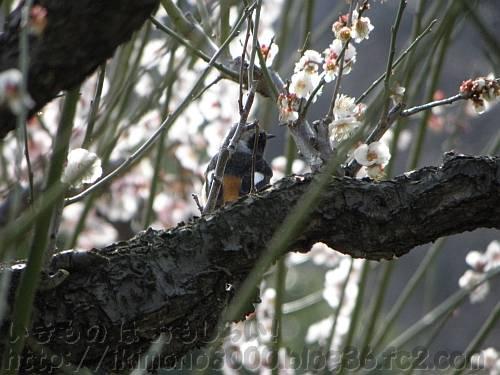 満開の梅の枝にとまる鳥