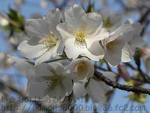 オオシマザクラの花