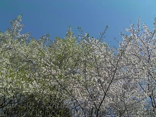 錦織公園の桜木の里東のオオシマザクラ(左)とソメイヨシノ(右)