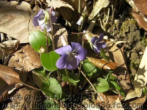 里山道で咲いていたニオイタツツボスミレ