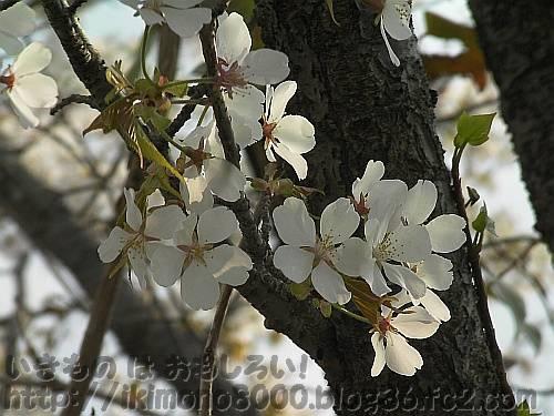 近所のちょっと変わった桜