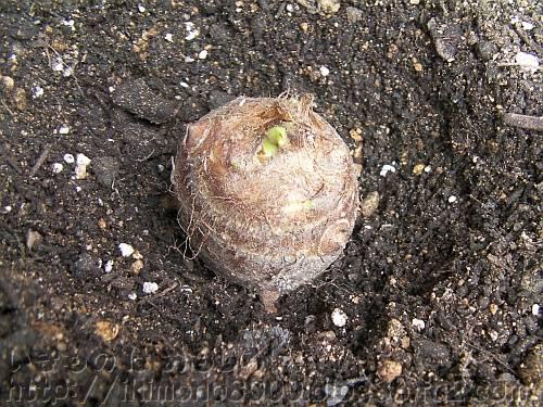 すでに目が出始めている種芋