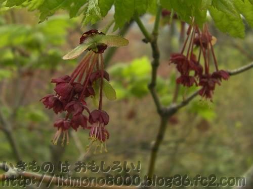 花の文化園のイタヤカエデの花と実