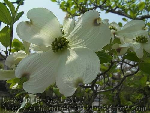 苞は開いていますが、実はまだ咲いていないハナミズキ