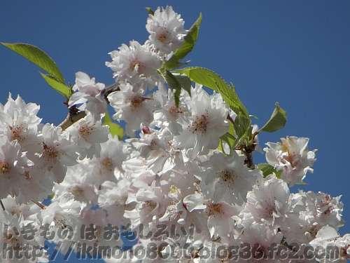 枝垂八重桜