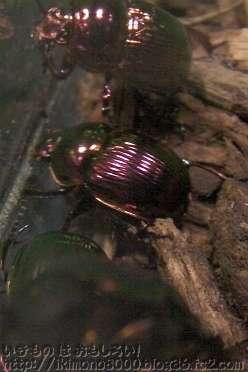 赤タイプのオオセンチコガネ[ぼくらの昆虫&どうぶつ教室(2010大阪ビジネスパーク円形ホール)]