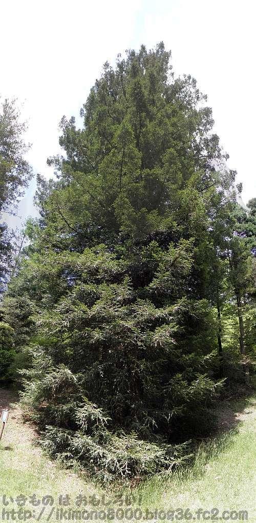 セコイアメスギ神戸市立森林植物園 2012年5月