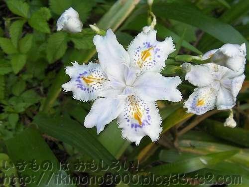 アヤメとはまたちがうシャガの花