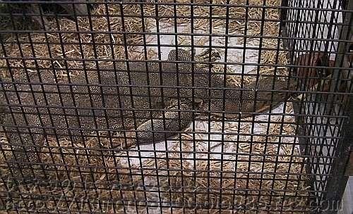 2011の180cmのミズオオトカゲ