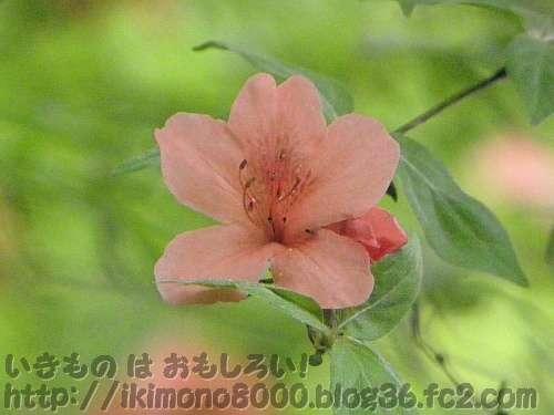 ヤマツツジ(山躑躅)