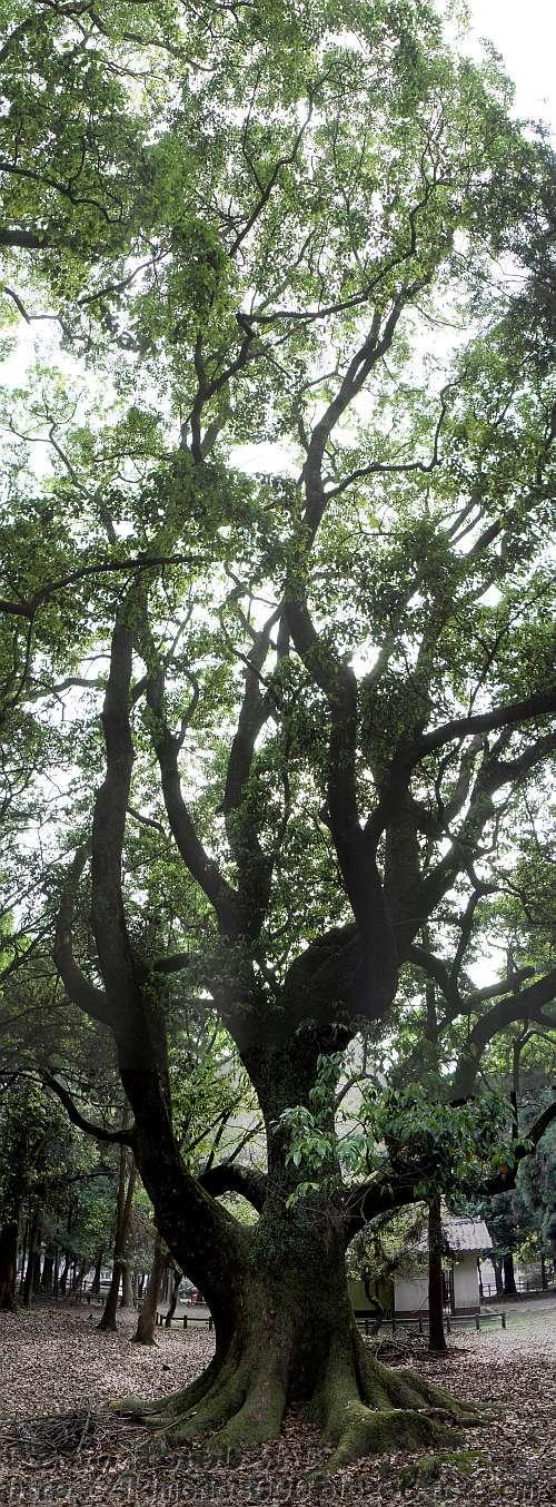 奈良公園春日大社周辺の322番クスノキ 2012年5月