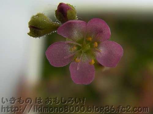 実生のトウカイコモウセンゴケの花