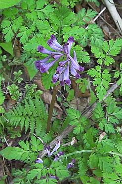 ムラサキケマン(紫華鬘)