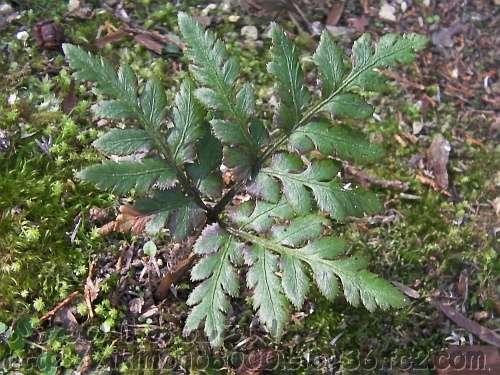 オオハナワラビ(大花蕨)
