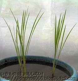 田植え直後のバケツ稲