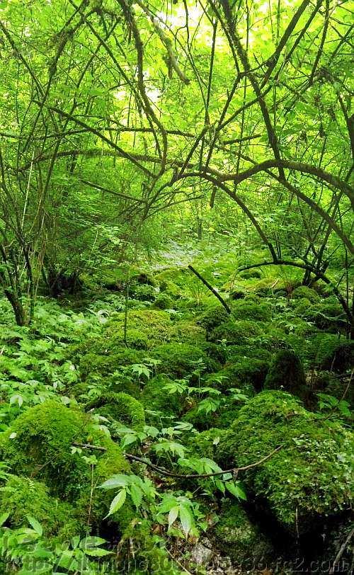 モミジ谷のコケに覆われた斜面