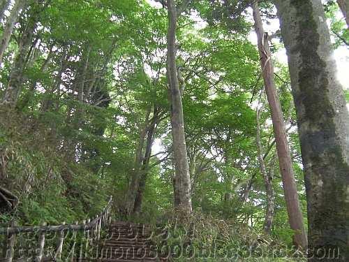 金剛山千早本道八合目付近のブナ林