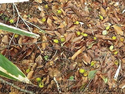 大量に降りている梅雨のブナドングリ