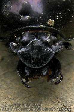 頭楯が半円形なのがセンチコガネの特徴