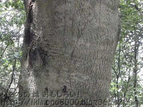 錦織公園の「北広場ヤマモモ」の樹皮(2012年6月)