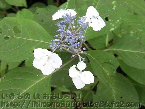 大石ヶ峰のヤマアジサイの花