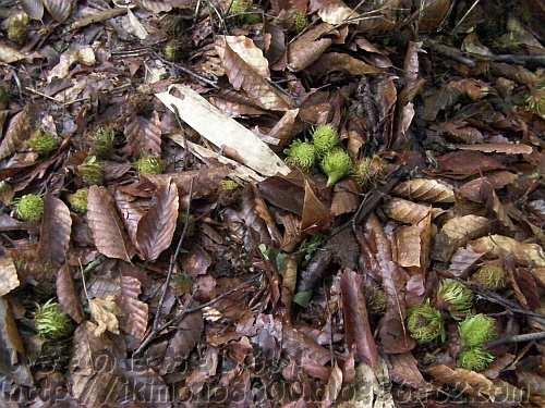 2012年の金剛山ブナ林の「梅雨の落果」(モミジ谷東尾根)