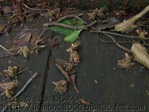 和泉葛城山の木道に落ちていたブナのどんぐりの殻斗(2012年7月)
