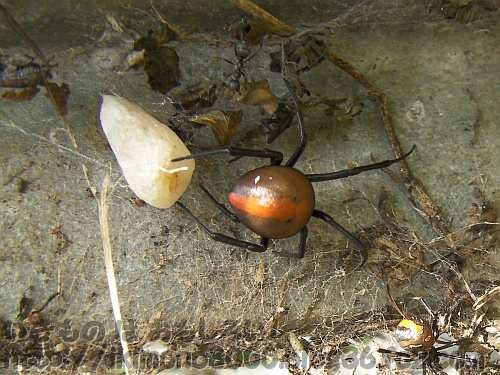 溝の中で卵を守るセアカゴケグモ