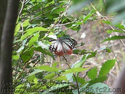 羽を広げたアサギマダラ(紀泉山脈小堂峰付近2012年7月)