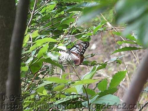 羽を閉じたアサギマダラ(紀泉山脈小堂峰付近2012年7月)